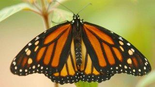 021519 monarch butterfly