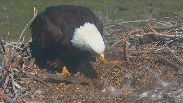 03.15.16_Bald-Eagle-Chicks