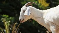 Not Kidding Around: Woman Sues for Paternity Test on Goats