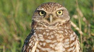 06-11-2014-burrowing-owl