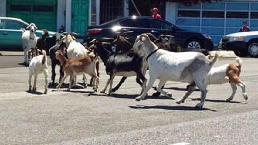 06-27-2014-goats-th