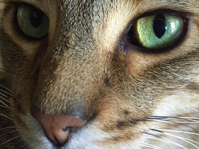 [chicagogram] These eyes #cats #cat #catlover #catsgram #catstagram #cats_of_instagram #catsofinstagram #catstagram #nofilterneeded #nofilter #chicago #chicagogram #greeneyes