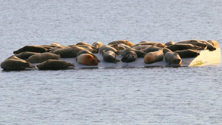 12-21-16-harbor-seals-alameda