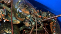 Claws of Health? Lobster Blood Could Play Role in New Drugs