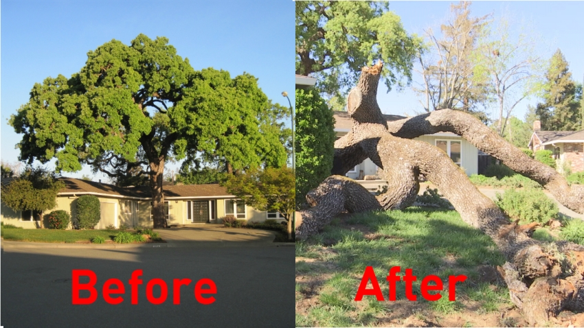 Walnut Creek Tree: Before and After