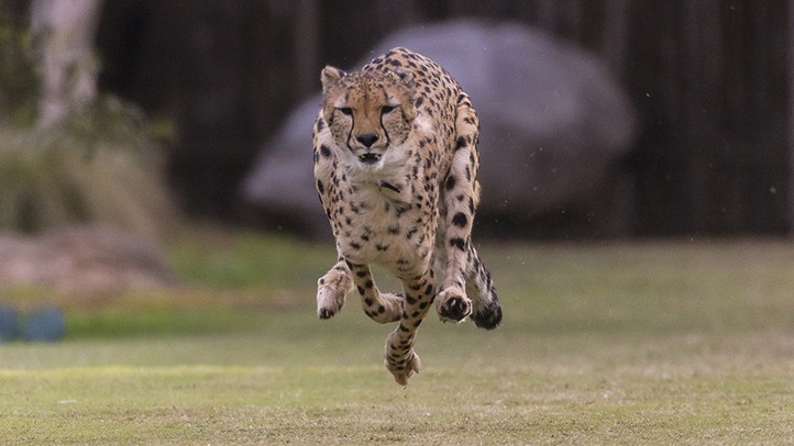 San Diego Zoo Safari Park Cheetah Ambassador Overcomes Foreleg A
