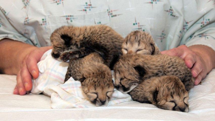 Zoo Cheetah Cubs