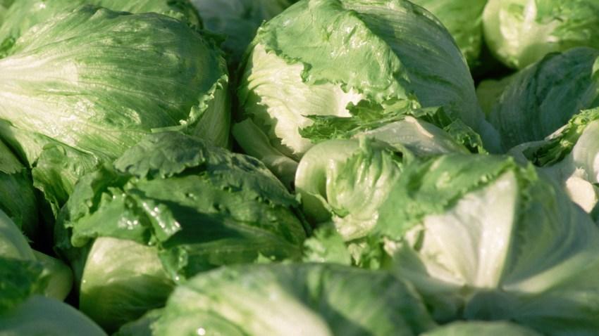 Closeup of Harvested Iceberg Lettuce Heads