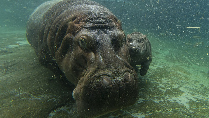 A Not-So-Little Girl: Hippo Calf Born in April at the San Diego