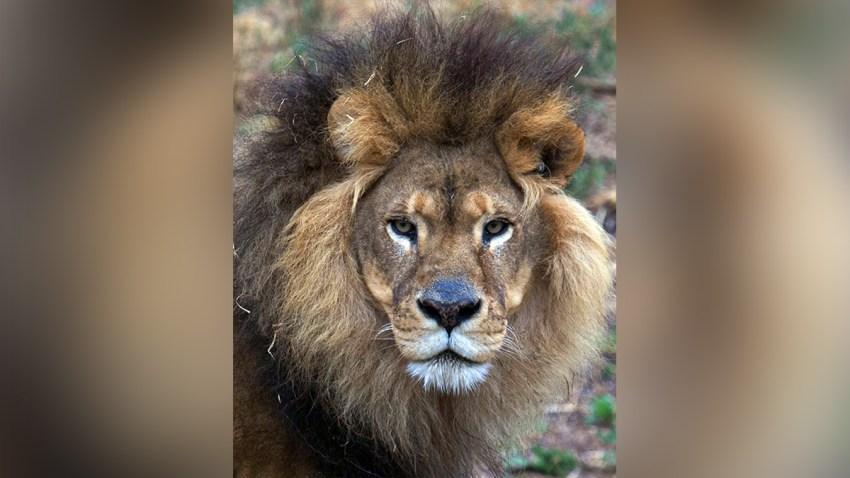 Lion-Oakland-Zoo