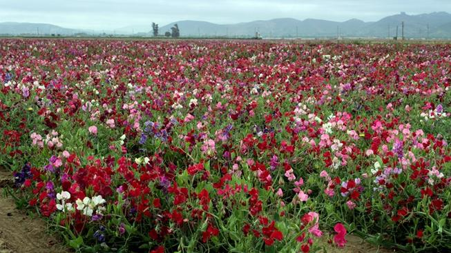 Lompoc S Flowery Fields Are Bloomfully Bursting Nbc Bay Area