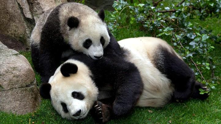 PandaSanDiegoZooCam