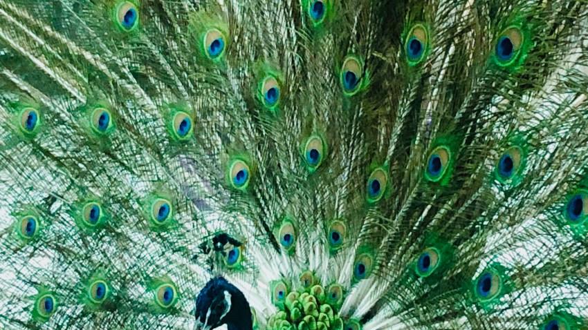 Peninsula Humane Society Peacock 3