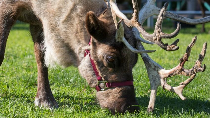 Reindeer11.19.16