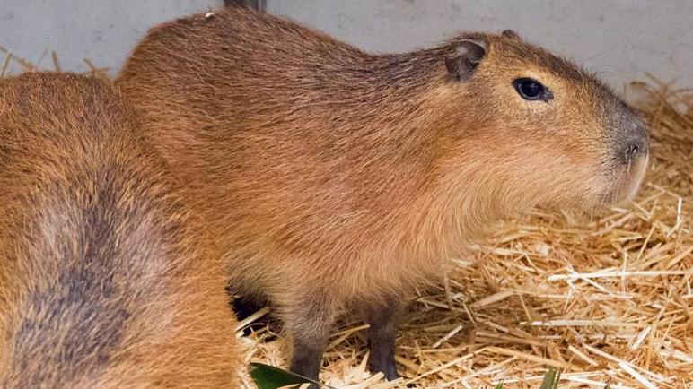 SB Zoo Capybara 3
