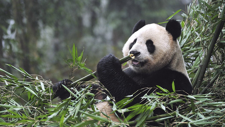 Scottish Chinese Panda