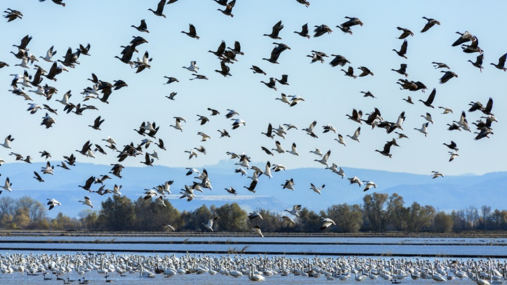 SnowGeese_8323