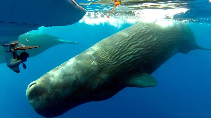 Sperm-Whales-Orange-County