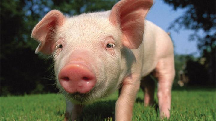 Pig8x10:Layout 1
