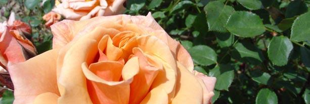 Valentine's Rose Garden