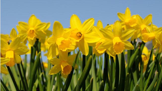 daffodil-days12
