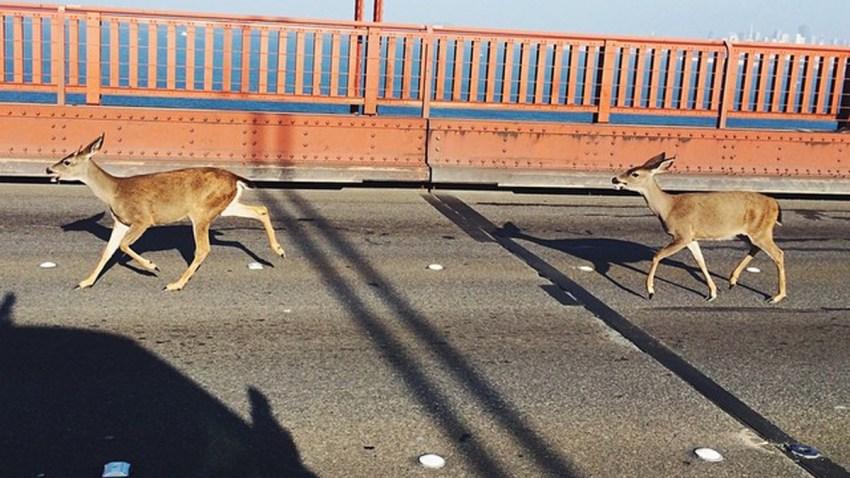 deer-on-ggb