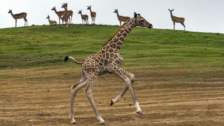 giraffecamsd928982