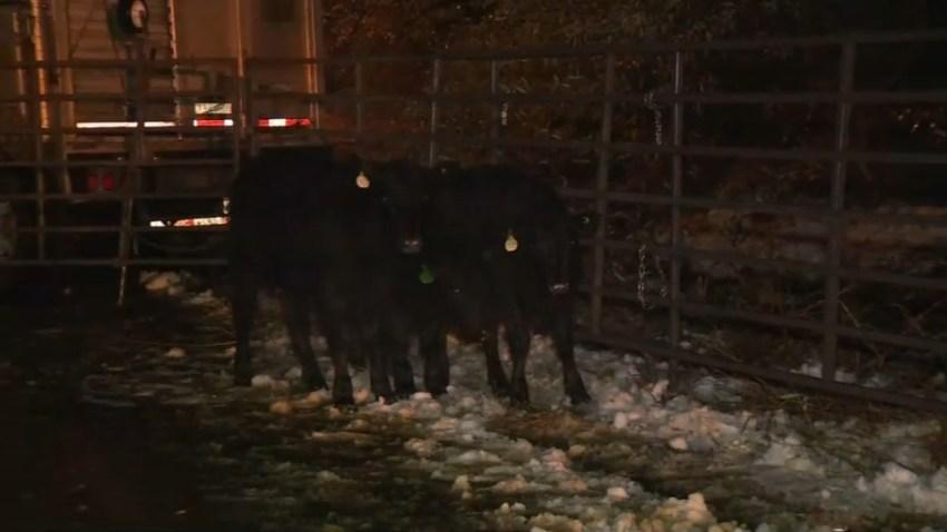 hwy50-cattle-1127