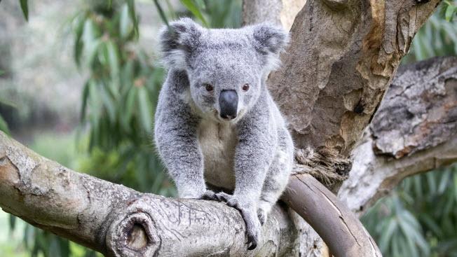 Meet Cobar, San Francisco Zoo & Gardens' New Koala
