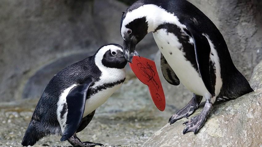 San Francisco Penguin Valentine