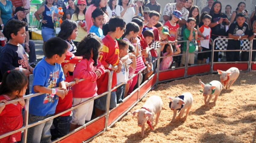 pig-races061118