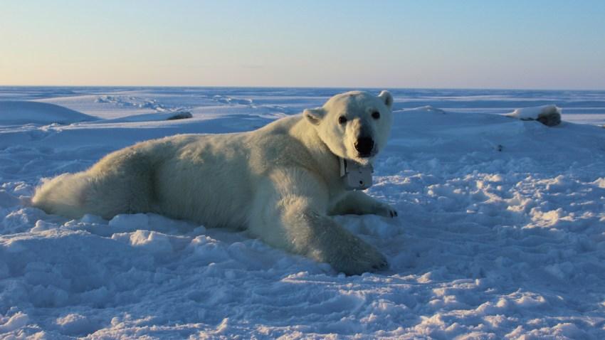 Polar Bear Weight Loss