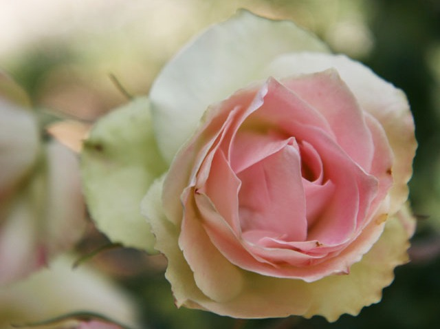 proud roses - flowers - pink and white 1015