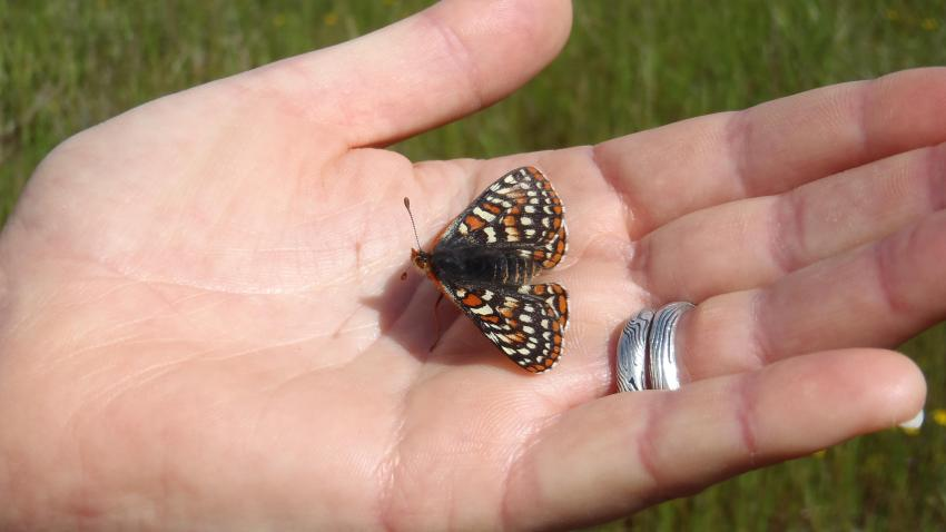 san mateo county butterfly release