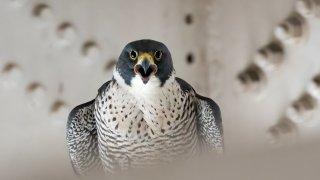 A vocal peregrine falcon parent