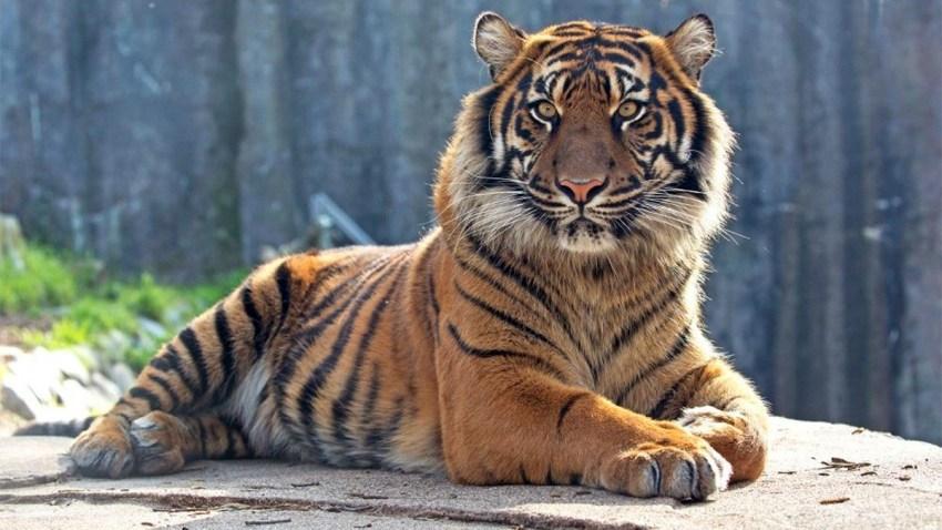 tiger-bday