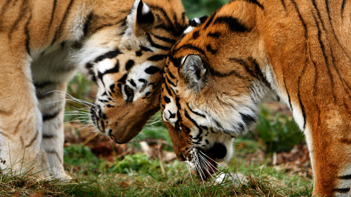 tigers-cuddling-animals