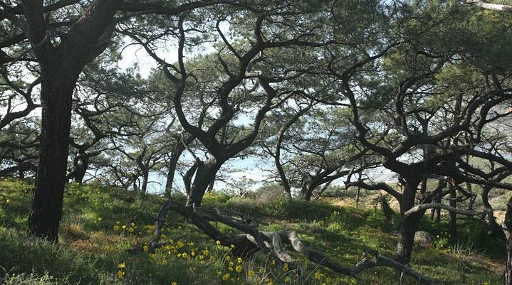 torreypinetrees