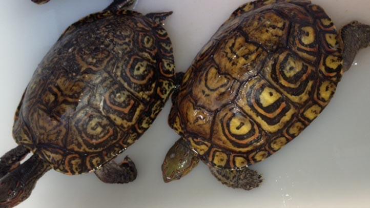 turtles raw