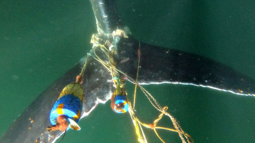 A humpback whale is tangled up in fishing gear