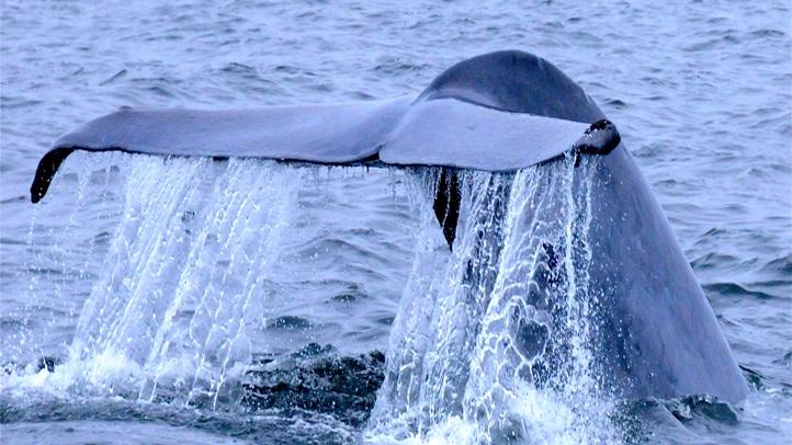 whalefestflukemonterey1