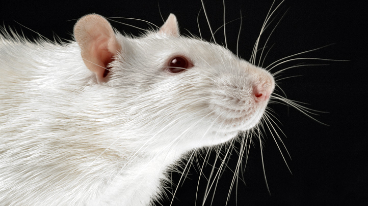 rats-walk