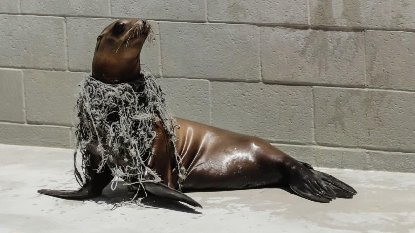 A seal entangled in ocean debris.