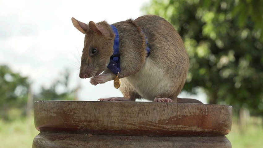 "In this undated photo issued by the PDSA, People's Dispensary for Sick Animals, Cambodian landmine detection rat Magawa is photographed wearing his PDSA Gold Medal, the animal equivalent of the George Cross, in Siem, Cambodia. On Sept. 25, 2020, a British animal charity for the first time awarded its top civilian honor to a rat, recognizing the rodent for his ""lifesaving bravery and devotion"" in searching out unexploded landmines in Cambodia."