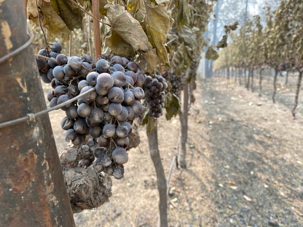 Wine grapes sit cooked in the heat of the flames that tore across the hills of St. Helena.