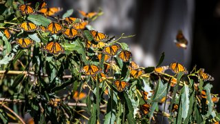 Thousands of monarch butterflies gather in the eucalyptus trees.