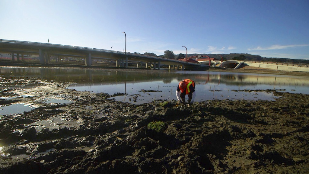 A Presidio crew plants native plants around the newly-restored salt water marsh.