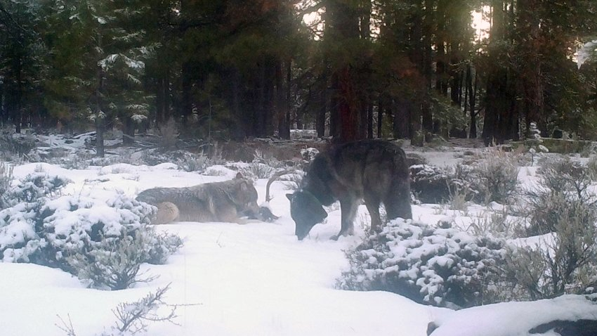 A male wolf collared by Oregon wildlife officials has been spotted in Northern California with another wolf on Dec. 26, 2020, likely a female with whom he is likely to start a new pack, California officials said. The wolf, dubbed OR-85, was spotted along with a companion by a game camera in Siskiyou County.