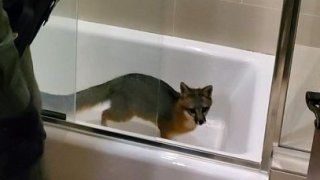 A wild fox trapped in a bathtub in a Los Altos Hills home.