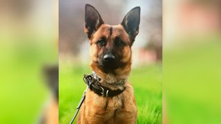 Fresno Police K-9 Argo, who was stabbed six times on Saturday, seen in this April 10, 2021 image. Argo was stabbed multiple times by a suspect but saved the life of an officer in the process, the city's police department said.